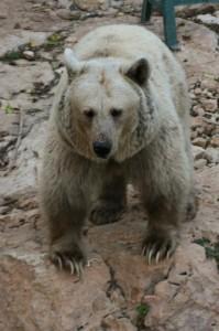 Syrský hnědý medvěd v jeruzalémské Biblické zoo (foto: Kateřina Šestáková)